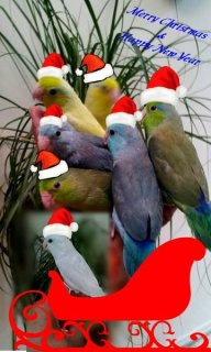 "Babies Parrotlets . ""A Christmas Gift\"" - Please Contact"