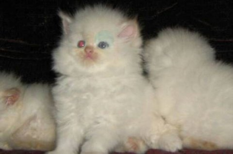 Beautiful CFA registered flame female Himalayan kittens