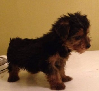 Yorkshire Terrier Puppy - Please Contact