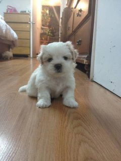 PUPPY FOR SALE (SHIH-TZU)