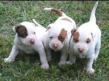 pure pitbull puppies Ready Now