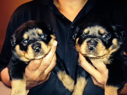 AKC German Line Rottweiler Puppies