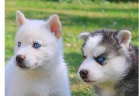 Siberian Huskies Puppies for Adoption