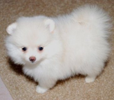 pomeranian Pups Available