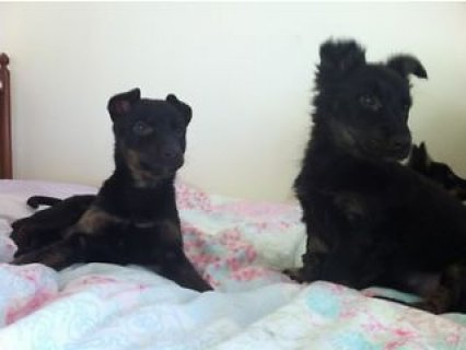 Beautiful Alsatian X Sheepdog puppies