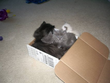 Persian Kittens All Ready For Adoption