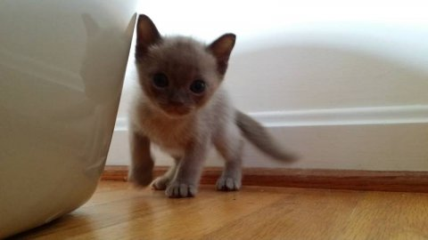 صور Burmese kittens Ready Now Check Out 1