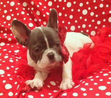 GORGEOUS AKC BLUE FRENCH BULLDOG BABY!