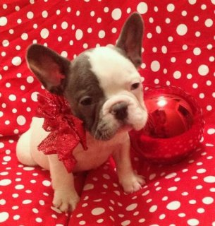 FEMALE GORGEOUS AKC BLUE FRENCH BULLDOG BABY