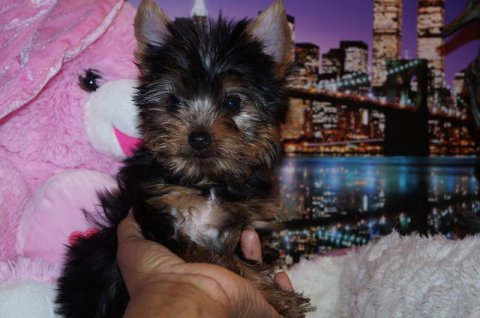 Teacup AKC Yorkie Female
