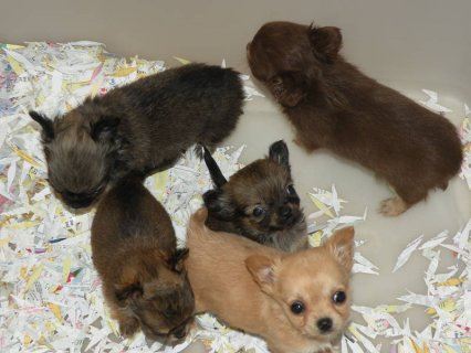 Adorable LONGCOAT Tiny CKC (teacup size) Chihuahuas! Female & Ma