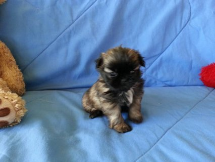 صور CKC Shih-TZU Puppy 8 weeks old 1