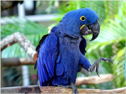 Hand Fed Hyacinth Macaw Parrot