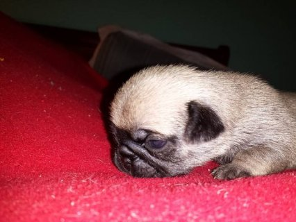 AKC Pug Puppies - Ready January