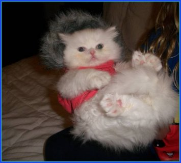 صور Persian himalayan kittens for sale 1