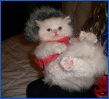 Persian himalayan kittens for sale