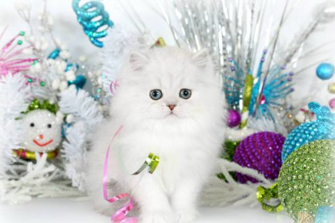 Teacup Persian Kttens for Sale54