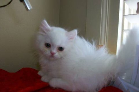 white persian napoleon new persians born46