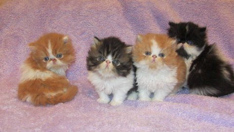 BEAUTIFUL PERSIANS KITTENS, 10 WEEKS OLD.READY FOR CHRISTMAS1