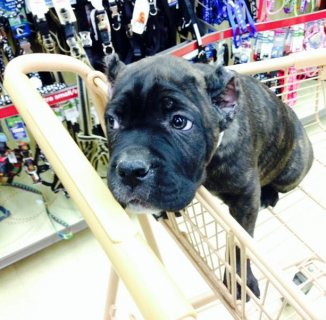 Cane Corso puppies For XMas