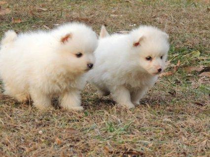 Miniature American Eskimo Puppies - Please Contact