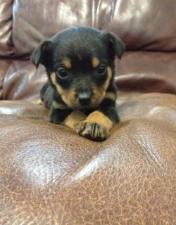 AKC ROTTWEILER PUPPIES SHOW POTENTIAL FOR ADOPTION