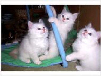 Sweet Purebred Neva Masquerade kittens with pedigree