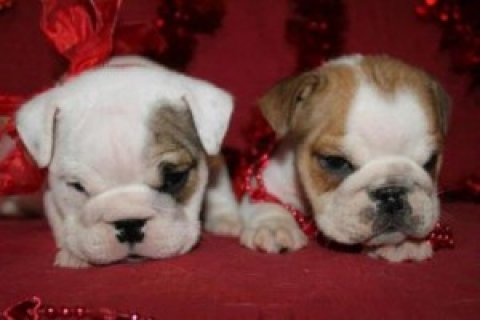 Male and Female English Bulldog Puppies For Sale99