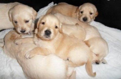 Quality Golden Retriever Puppies