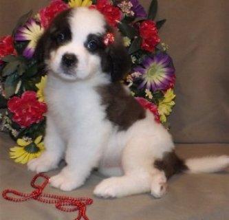 Adorable Saint Bernard Puppies for Salee
