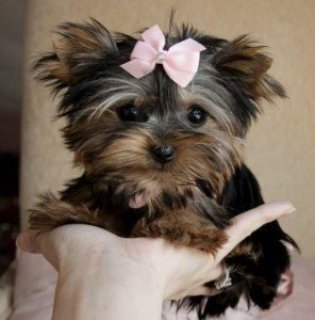 Teacup Yorkie Puppies65