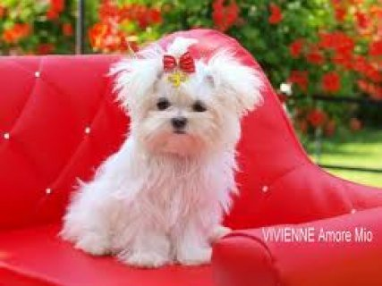Adorable Maltese Puppies For Free Adoption809