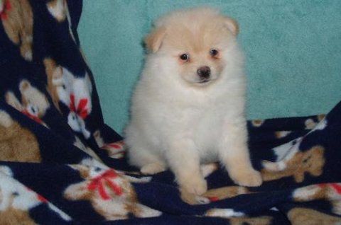Pomeranian puppies for Adoption.78