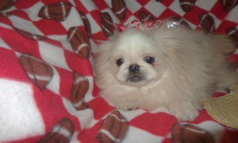 Male and Female petit pekingese Puppies.4
