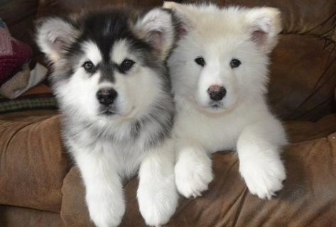 Alaskan Malamute puppies for adoption908