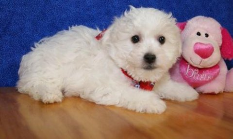 Bichon Frise puppies ready to go home098