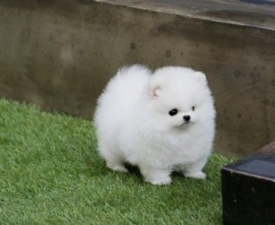 Friendly Teacup Pomeranian Puppies Adoption098