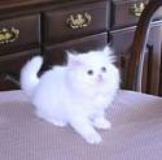 White & Solid colored Persian Kittens For adoption2