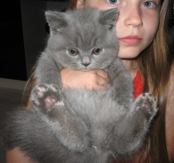 British Short Hair Kittens for Adoption12