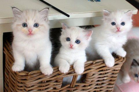 Sweet White Persian Kittens for adoptionwe