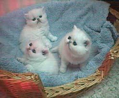 Persian kittens for salety
