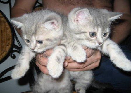 British Short-haired Kittens seeking good homeswe