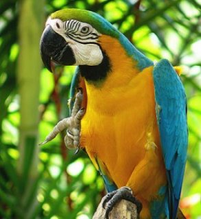 Blue & Gold Macawwerwer