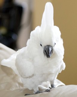 Cockatoo parrots for adoptionu