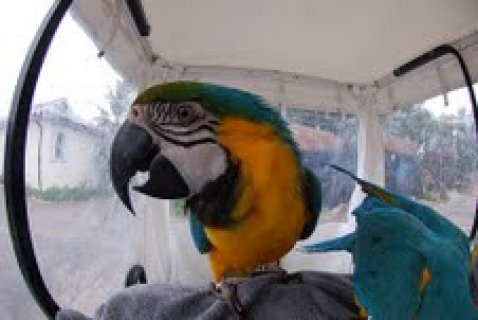 Blue and Gold Macaw Parrots out for adoption8