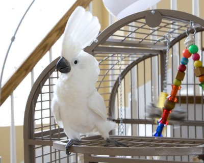 Cockatoo parrots for adoption3