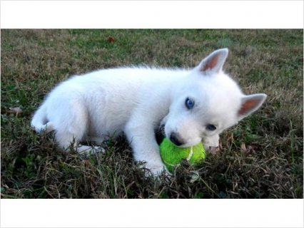 Purebred S.i.b.e.r.i..an H.u.s.k.y Puppies - AKC Registered1