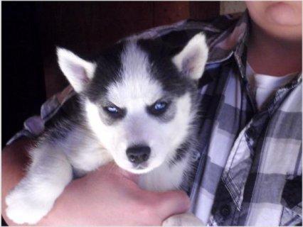 Siberian Husky Pups432