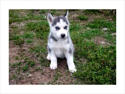 Siberian Husky Pupppies For Sale!!! rew