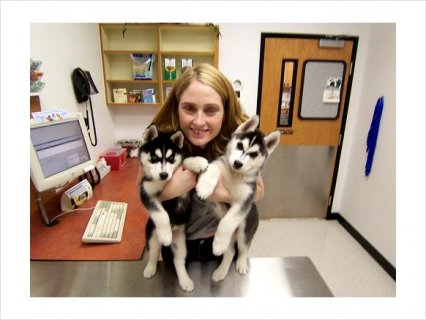 Male and Female Siberian Husky mixed Puppies675
